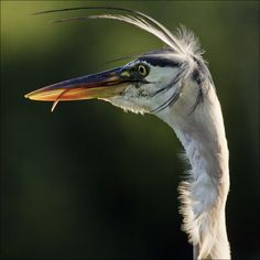 Looking for Henry...https://flic.kr/p/fgSMiG | Young Grey Heron (Ardea cinerea) | It is a large bird, standing 90–100 cm tall, with a 175–195 cm wingspan and a weight of 1–2 kg. Its plumage is largely grey above, and off-white below. Adults have a white head with a broad black supercilium and slender crest, while immatures have a dull grey head. It has a powerful, pinkish-yellow bill, which is brighter in breeding adults. It has a slow flight, with its long neck retracted (S-shaped). This is…
