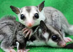 Unique Black Beauty and White Face Sugar Glider Joeys both with bfbb facial markings now available.