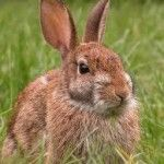 Is my rabbit fence useless?  Can relate to this article but it's possums which eat my vegetables not rabbits. Family wants a pet rabbit but they are not allowed to be kept as a pet in my area - thankfully :)