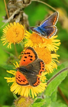 Small copper & female common blue butterfly by EmyJSkylark on Flickr.