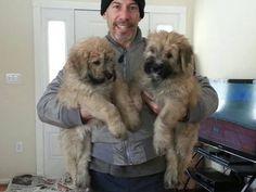 Bouvier Des Flandres Puppies.