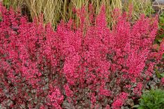 Heuchera Rave On is perhaps the heaviest blooming coral bell ever & will provide MONTHS of blooms in your garden! This hardy Shade Plant has highly silvered foliage in the spring which is then topped with dozens of flower spikes bearing hundreds of dark pink blooms for weeks on end! Rave On Heuchera is a work-horse of a garden plant with multi-seasonal appeal from its silvered foliage to its extreme flower display.