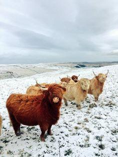 Scottish Highland cattle■ ϰλϚϮՀί๔ϵήฬϕɭʃ