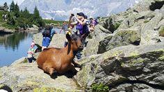 Freilaufende Bergziegen am Spiegelsee