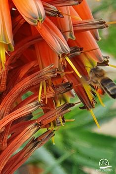 Une abeille butine les fleurs de nos aloes arborescens #abeille #nature #jardin #fleur #fleurs Plantation, Green, Nature, Gardens, Bee, Plant, Flowers, Naturaleza, Nature Illustration
