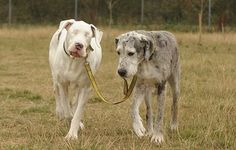 Forever friends: Lily, left, being guided while walking with Maddison right. The pair have been inseparable since Lily lost her sight    Read more: http://www.dailymail.co.uk/news/article-2051780/Blind-Great-Dane-Lily-needs-home-space-HER-guide-dog-Maddison.html#ixzz1w8RdxZZS