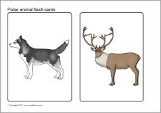 Polar animals picture flash cards (SB7808) - SparkleBox