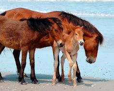 Wild Horses' Fate in Outer Banks Lies in Preservation Clash - The New York Times