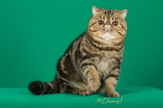 GC, NW WHITE SEAEXO ARAMIS OF LADILUCK 2nd Best Cat in Championship Brown Tabby Exotic Male