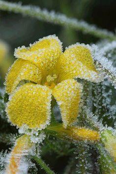 frosty buttercup