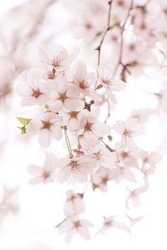 -Beautiful Cherry blossom - beautiful day!!♥