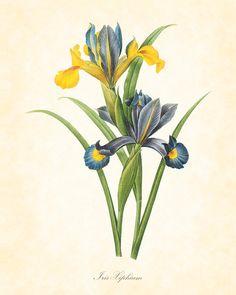 Antique Iris Xiphium Redoute French Botanical Art Print 8 x 10 Digital Collage Home Decor Wall Art |