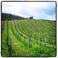 Paysage de coteau de vignes à Massignieu-de-Rives