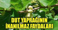 Uzun yıllar dut ağacının meyvesini severek yesekte yapraklarını önemsemez ve atarız. Bu yazımızı okuduktan sonra dut yaprağına olan bakış açınız değişecek. Dut yaprağı kalsiyu