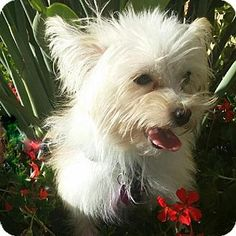 Costa Mesa, CA - Yorkie, Yorkshire Terrier Mix. Meet Peaches, a dog for adoption. http://www.adoptapet.com/pet/12321885-costa-mesa-california-yorkie-yorkshire-terrier-mix