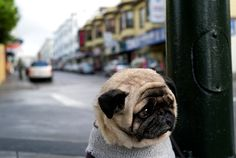 The saddest pug in the world
