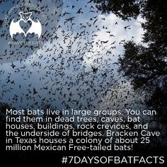 Conserving the world's bats and their ecosystems to ensure a healthy planet Interesting Stuff, Awesome Stuff, Bat Conservation International, Bat Facts, Bat Flying, Cute Bat, Creatures Of The Night, Halloween Bats, Spirit Guides