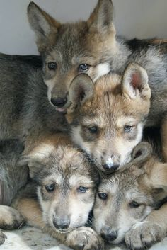 Wolf puppies. I would love to cuddle with this pack..