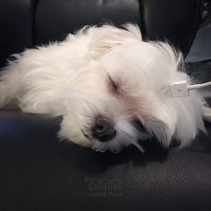 My mom better not go to the restroom. Otherwise, I'll take her space and recharge! 40%! #charging #iphone #sleepyhead#arodwang #maltese #puppylove #dogsofinstagram #doglover #whitedog #fluffy #boy #popsugarpets #love #puppy #raisblack #bestofpack #cute #말티즈 #マルチーズ#dog #dogmodel #犬 #狗