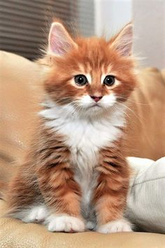 cats HQ - Pictures of cute cats and kittens Free pictures of funny cats and photo of cute kittens : Cute cats HQ - Pictures of cute cats and kittens Free pictures of funny cats and photo of cute kittens : Maine Coon Kittens AmbientCat Banzai Cute Cats And Kittens, I Love Cats, Crazy Cats, Kittens Cutest, Ragdoll Kittens, Kittens Meowing, Bengal Cats, Kittens Playing, Bengal Tiger