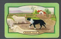 """Coles swap trading card named """"Border Collie"""""""