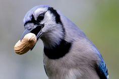Blue Jay with a Peanut