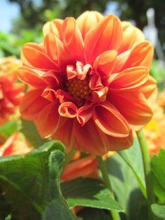 orange dalhia...i think