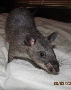 Abbey my Gambian Pouched Rat saying hello......