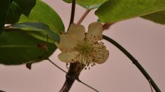 Kiwi flower by Eduardo Seguy, via Flickr
