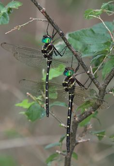 Dragonfly in the garden Dragonfly Wings, Dragonfly Tattoo, Dragonfly Quotes, Dragonfly Images, Flying Insects, Bugs And Insects, Beautiful Bugs, Beautiful Butterflies, Horse Caballo