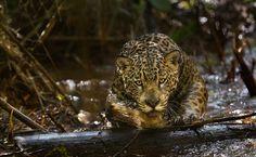 Jaguar by Araquém Alcântara