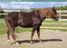 Finnhorse - gelding Reston Rinssi