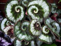 Escargot Begonia.  I had one of these with small pink flowers.  Too bad a late freeze killed it.  It was very unique.