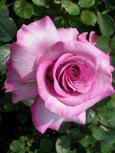 'Neptune' | Hybrid Tea Rose. Bred by Tom Carruth (United States 2003)