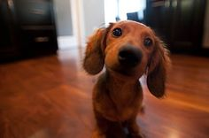Just curious. Long haired miniature dachshund. Looks like my Coco