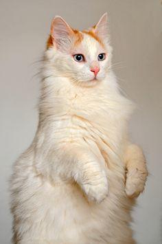 Turkish Van by Tambako The Jaguar