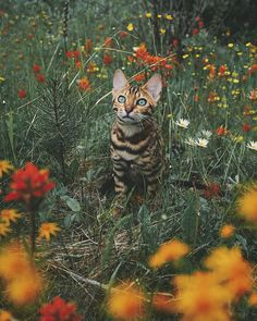 Beautiful Bengal Cat Suki Adds Magic With Her Dazzling Sea Blue Eyes Against Nature