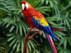 Scarlet Macaw is a large, red, yellow and blue South American parrot. Check here all interesting facts about Scarlet Macaw with new pictures-photos. Colorful Parrots, Colorful Animals, Colorful Birds, Cute Animals, Vida Animal, Mundo Animal, Tropical Birds, Exotic Birds, Tropical Forest