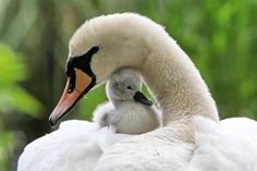 Mama & Baby Swan - Squee daily at these cute animals and the absolute cutest animal pics and gifs ever known to man. Beautiful Swan, Beautiful Birds, Animals Beautiful, Simply Beautiful, Majestic Animals, Beautiful Scenery, Beautiful Images, Beautiful Things, Cute Baby Animals