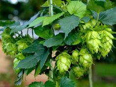 Beautiful hops