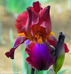 'Artist's Time' - Historic Iris Preservation Society Unusual Flowers, Amazing Flowers, Beautiful Flowers, Clematis, Iris Flowers, Planting Flowers, Iris Painting, Blossom Garden, Iris Garden