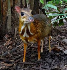 The Mouse Deer, aka The Chevrotain. Asian species weigh to & include the smallest ungulates in the world — African chevrotain is considerably larger at to — Pictured: Mouse-deer at Singapore Zoo 2012 Unusual Animals, Rare Animals, Exotic Animals, Majestic Animals, Exotic Pets, Animal Species, Endangered Species, Deer Species, Nature