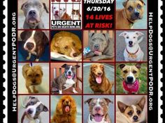 """6/30 Please Share! SUPER URGENT tap picture  BEAUTIFUL LIVES OF DOGS TO SAVE 6/30TO BE DESTROYED STARTING 12NOON PLEASE SAVE US WE ONLY HAVE A FEW MINS / HOURS TO LIVE BEFORE WE GO TO DOGGY HEAVEN THANK YOU PLEASE REPIN AND SHARE THIS INFORMATION  TIME IS CRITICAL THANK YOU IRISH : . Please share! The shelter closes at 8pm. Go to the ACC website( ASAP to adopt a PUBLIC LIST dog (noted with a """"P"""" on their profile) and/or work with a rescue group if you can adopt/foster ANY of our dogs on the…"""