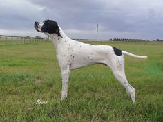 English Pointer - looks like my girl Cookie.
