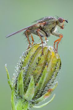 Dung-Fly!