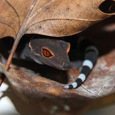 Goniurosaurus hainanensis by Dillon Damuth - Animals Reptiles ( gecko, reptile…