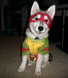 Teenage Mutant Ninja Turtle - Dog Costume Dog Halloween Costumes, Pet Costumes, Halloween 4, Costume Ideas, Animal Costumes, Big Dogs, Cute Dogs, Small Dogs, Funny Dogs