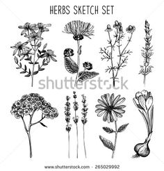 Vector set of ink hand drawn medical herbs and plants sketch. Vintage collection of herbal flowers illustration. - stock vector