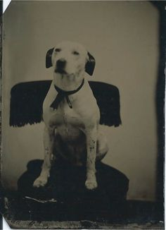 1/6-plate tintype of sweet white dog wearing a ribbon tied around its neck, sitting on fringed chair. From bendale collection