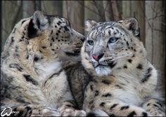 Snow Leopard - a large cat native to the mountain ranges of Central and South Asia. It is listed as Endangered on the IUCN Red List of Threatened Species Pretty Cats, Beautiful Cats, Ghost Cat, Wildlife Conservation, Cat 2, Snow Leopard, Big Cats, Lions, Kitty